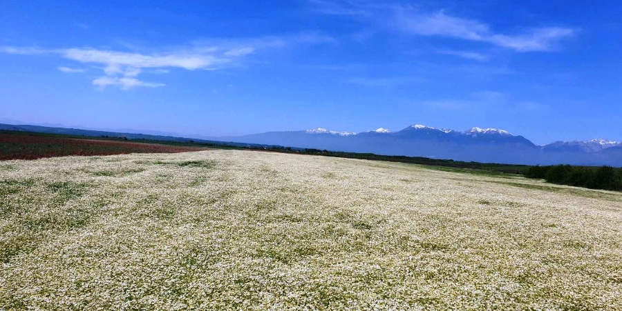 Chamomile Harvest Time for Kosovo Farmers